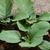 Green Long Eggplant Solanum melongena 25 Seeds