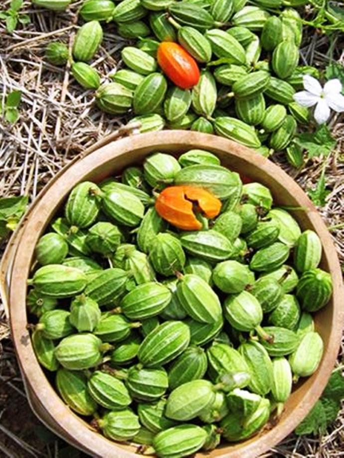 Gymnopetalum cochinchinense 25 Seeds