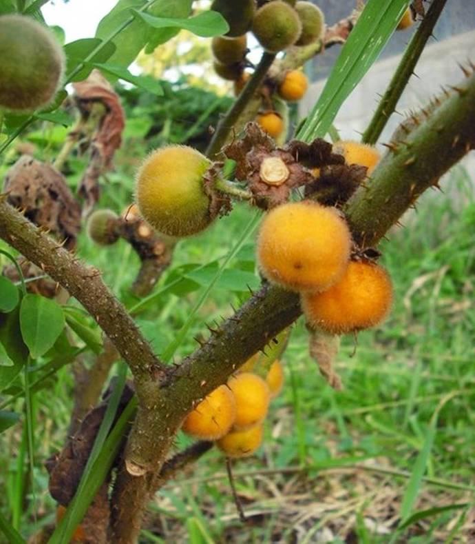 Hairy fruited eggplant Solanum ferox 25 Seeds