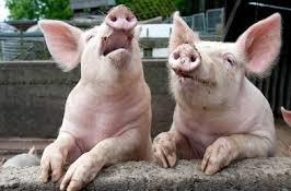 PIG (C) XSTITCH KIT