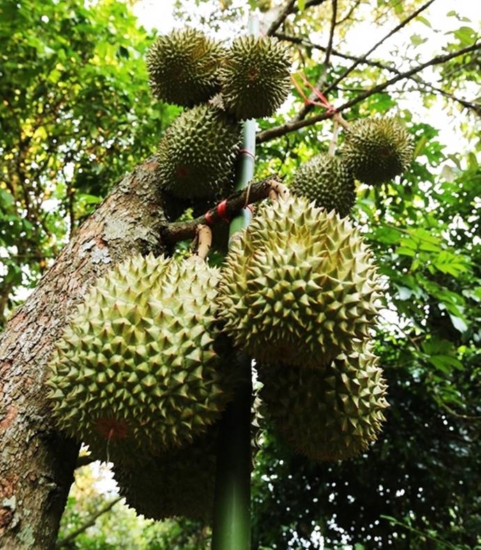 Durian Durio zibethinus 5 Seeds