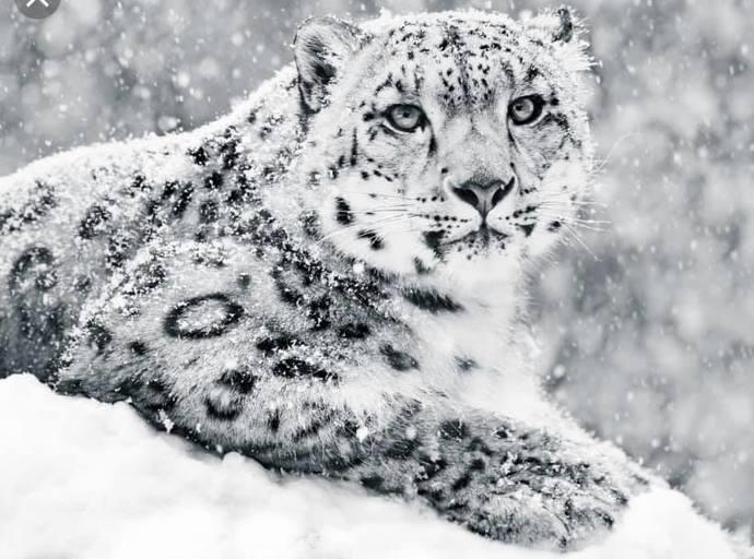 SNOW LEOPARD (1) XSTITCH KIT