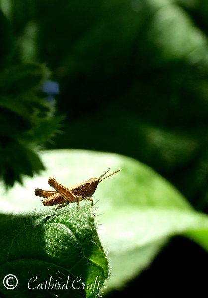 Photography print, Sunlit Grasshopper