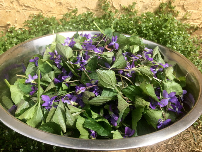 Violet Hand and Body Lotion, Viola Violet Wildflower, Wild-Picked Violet Leaves