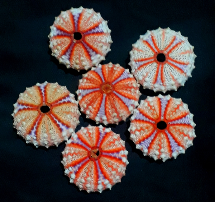 sea urchin 41 to 43 mm!!!located in the deeper part of the sea..6 pcs
