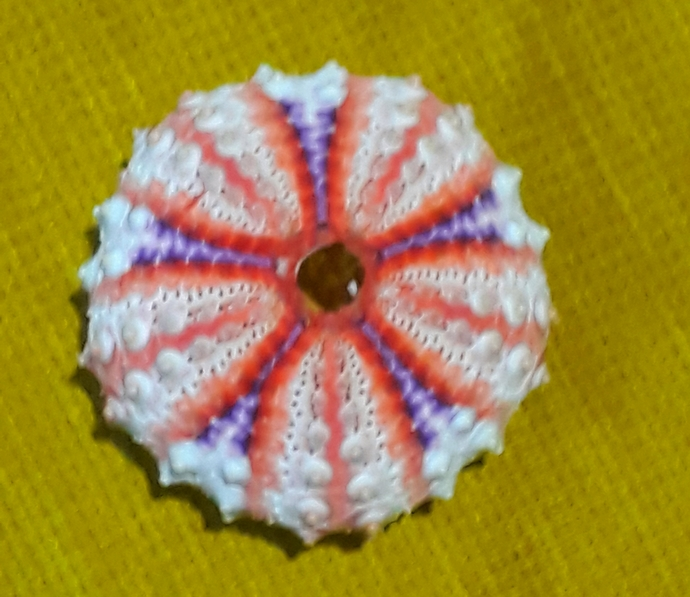 sea urchin 41 mm!!!located in the deeper part of the sea..