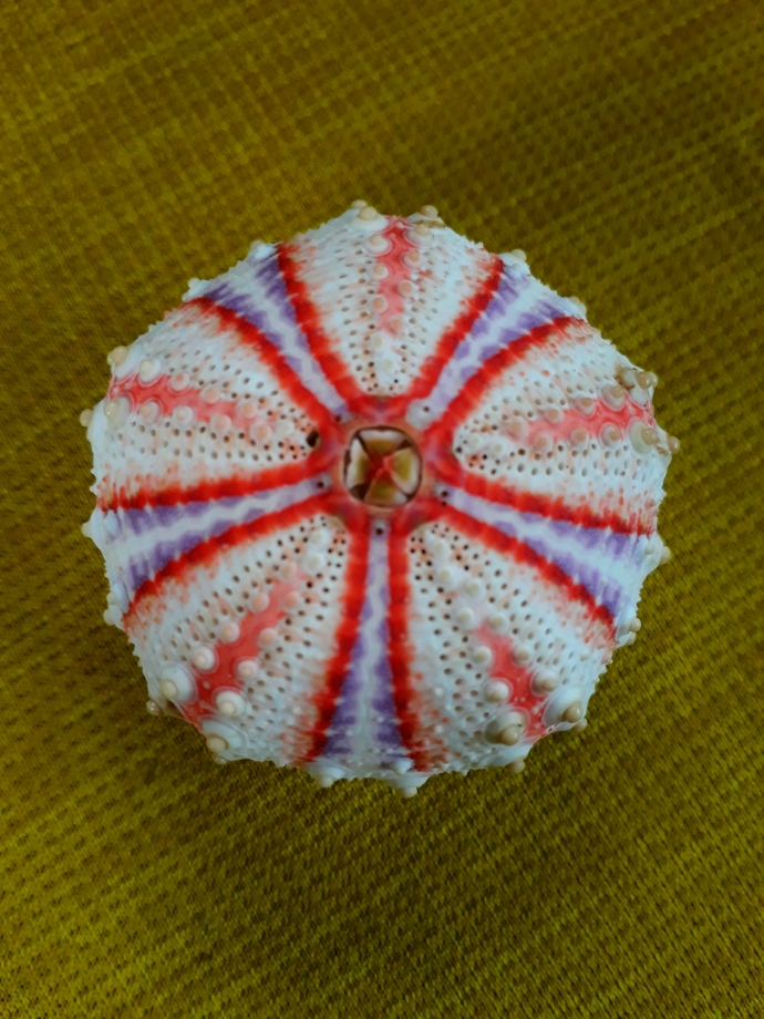 sea urchin 41 to 47 mm!!!located in the deeper part of the sea..