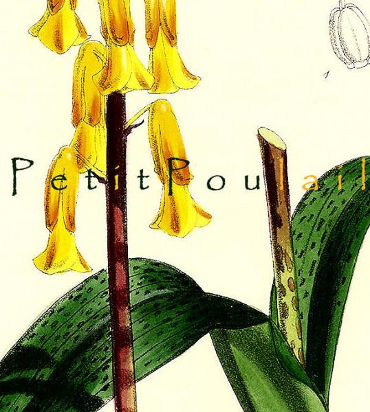 Cape Cowslip 1793 Antique William Curtis Hand-Colored Botanical Wildflower
