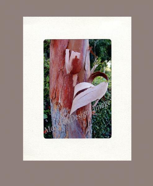 Photo - PHOTO CARD Shedding Brisbane Box Tree In Strathmore Trifold Frame Card