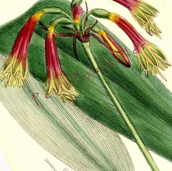 Queen Amaryllis 1793 Antique William Curtis Hand Colored Botanical Engraving, Pl