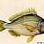 Game Fish 1952 Mid Century Jen Roemhold Antique Natural History Lithographs
