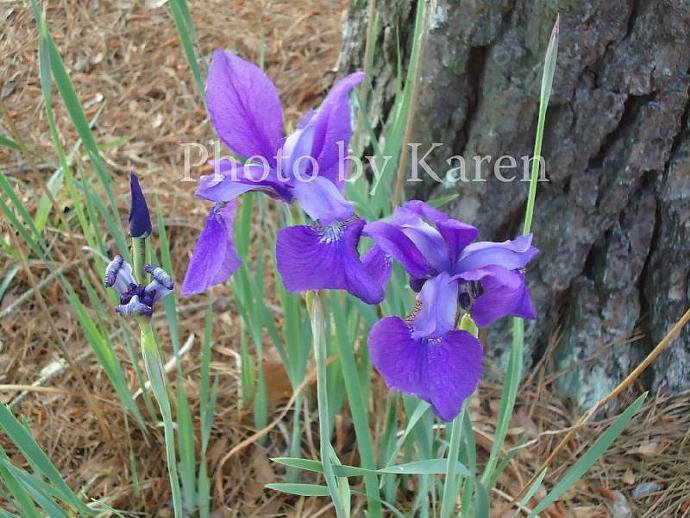 Purple Iris 5 x 7 Original Photograph, other sizes available