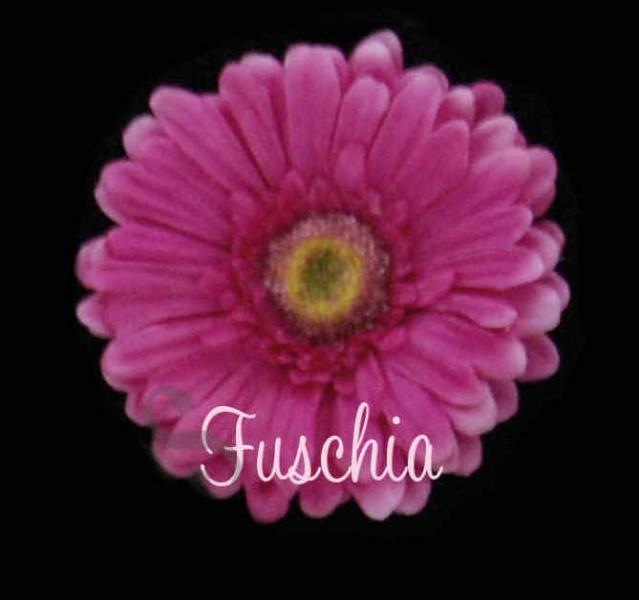 SaSSy Steal $.50pc Fuschia Premium Quality Stemless Gerbera Daisy