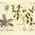 Primrose and Pimpernel 1815 Antique Austrian Bertuch Biedermeier Botanical