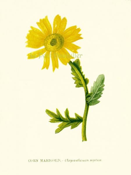 Corn Marigold 1856 Anne Pratt Victorian Wildflower Chromolithograph