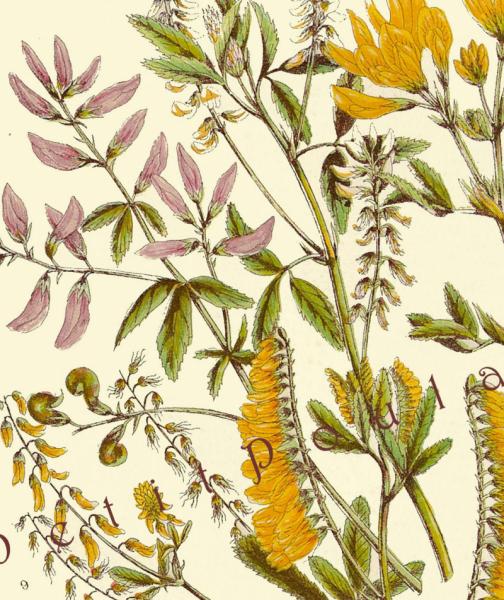 Herbs Medick and Melilot 1858 Anne Pratt Victorian Botanical Chromolithograph,