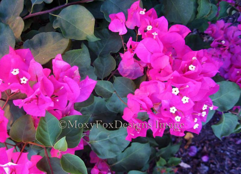 Fuchsia pink bougainvillea tropical flowers by moxyfoxdesigns on mightylinksfo