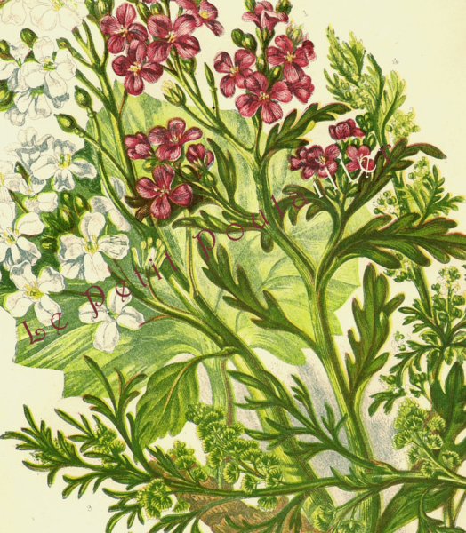 Cress and Kale 1889 Victorian Anne Pratt Antique Botanical Chromolithograph, Pl