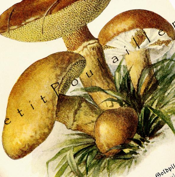Edible Mushrooms 1924 Antique German Roman Schulz Botanical Lithographs, Pl