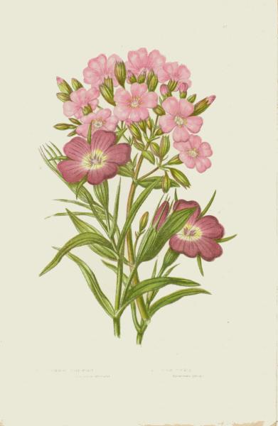 Corn Cockle 1889 Anne Pratt Victorian Botanical Engraved Chromolithograph, Pl 37