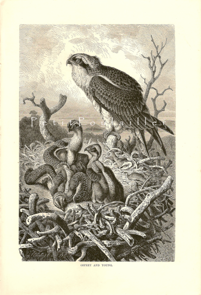 Osprey and Young 1894 Victorian Royal Natural History Antique Bird Engraving