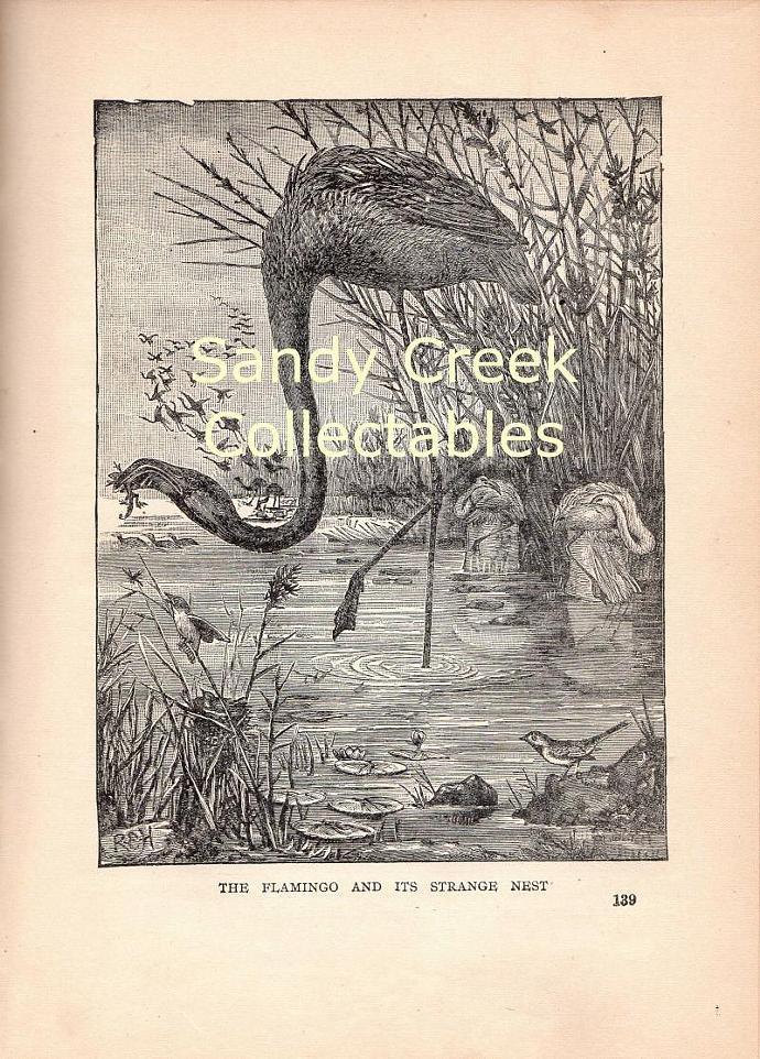 Digital Scan Antique Flamingo Book Page Engraving
