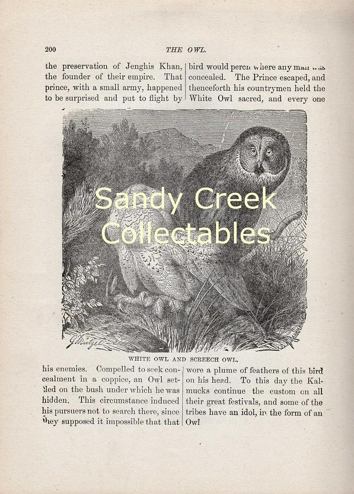 Digital Scan Antique White Screech Owl Book Page Engraving