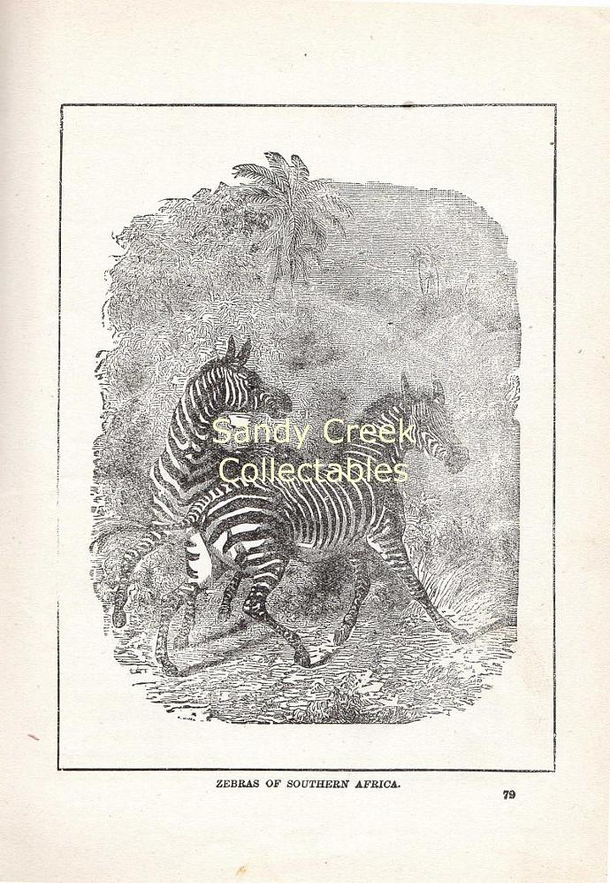 Digital Scan Zebras Antique Animal Book Page Engraving Printable