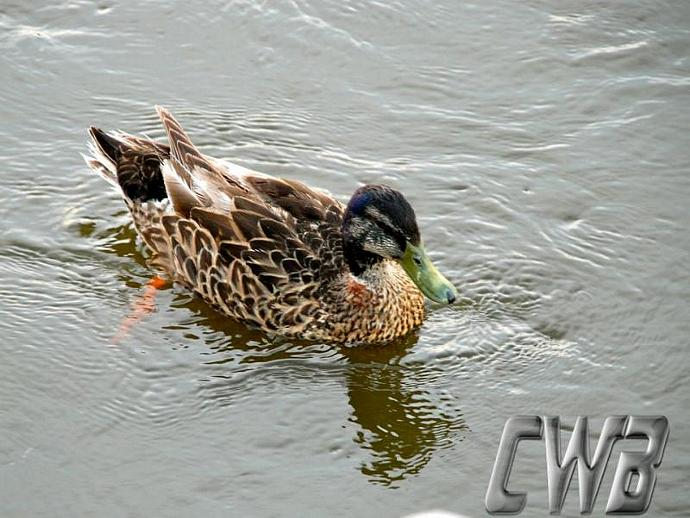 Mississippi Ducks fine art prints