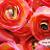 Citrus 3.5in Ranunculus Silk Flowers