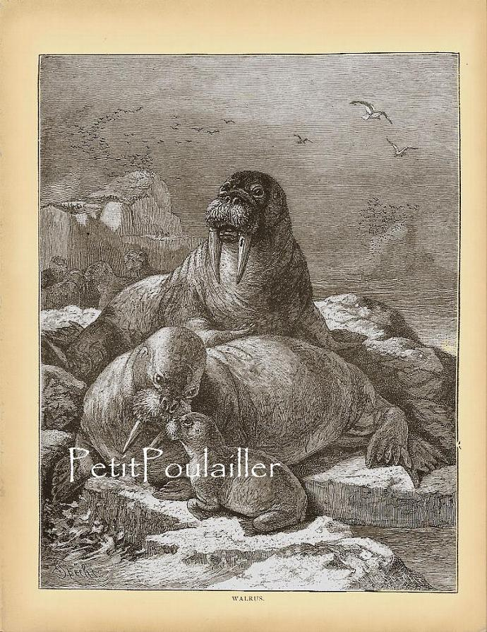 Walrus Family 1864 Victorian Natural History Family Portrait Antique Engraving