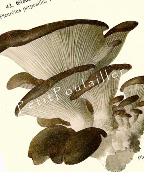 Oyster Mushroom and Toughshanks Mushroom 1924 German Roman Schulz Antique