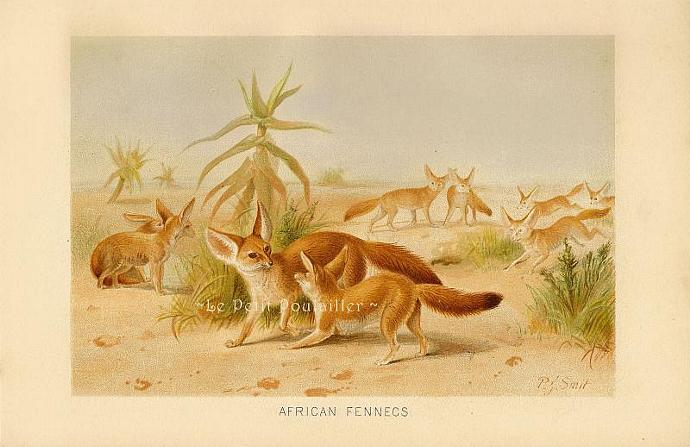 African Fennec 1894 Victorian Peter Smit Royal Natural History Antique Engraved