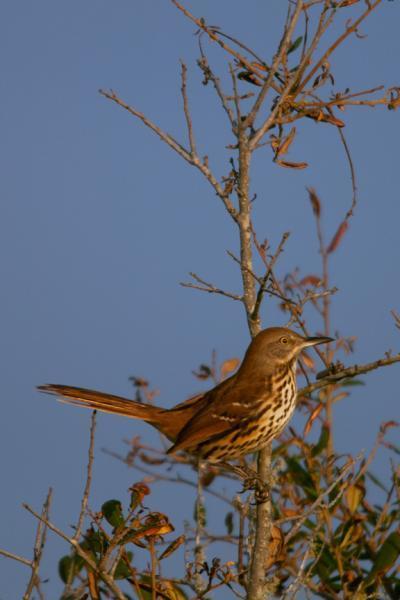 A Brown Thrasher Facing the Setting Sun Bird Art Photo