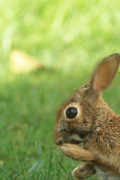A Scared or Scary Rabbit Photo