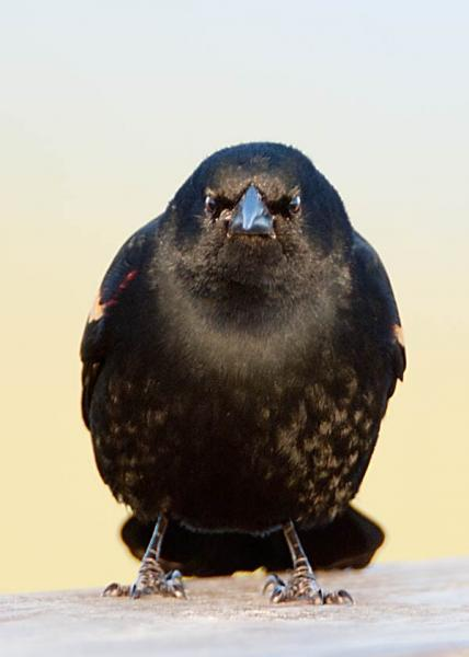 Angry Redwing Blackbird Glaring at You Fine Art Photo