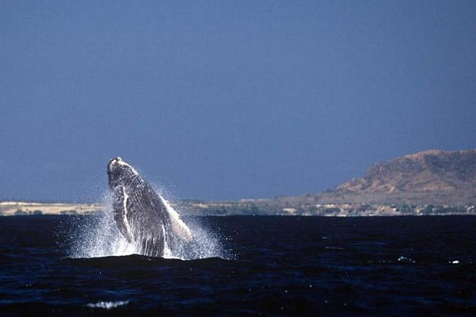 A Baby Humpbacked Whale Breaching in Banderous Bay Mexico Fine Art Photo