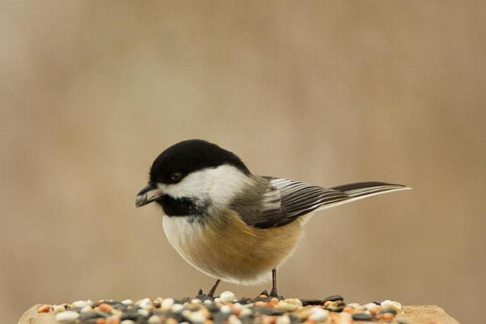 A Chickadee Eating Bird Seed Bird Print