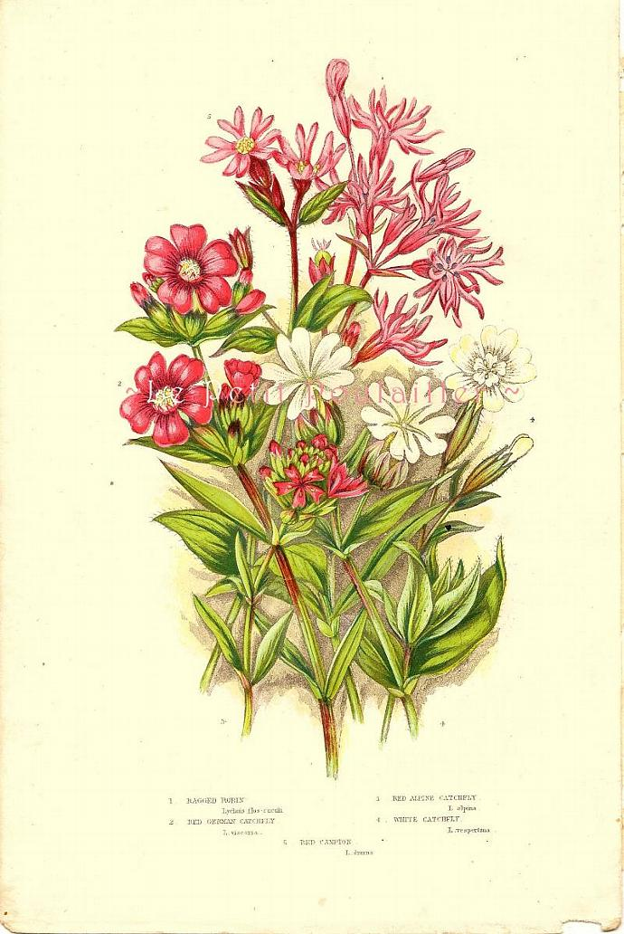 Ragged Robin 1889 Victorian Anne Pratt Antique Botanical Chromolithograph, Pl 39