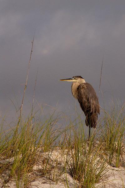A Great Blue Heron Rests on a Sand Dune in Florida Pan Handle