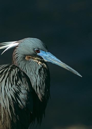 A Head Shot of a Tri-colored Heron Displaying Breeding Plumage Bird Fine Art