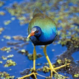 A Purple Gallinule Blending with Its Background Fine Art Bird Photography