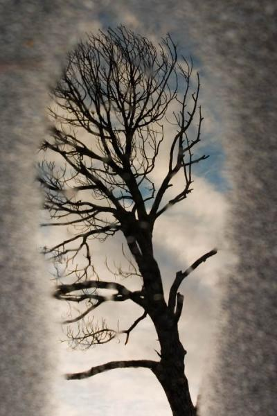 A Tree Reflected in a Puddle of Water Fine Art Photo