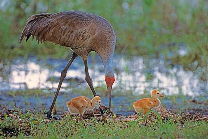 A  Sandhill Crane Foraging With Its Two Babies