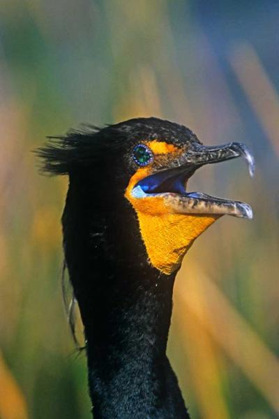 A Cormorant in Breeding Plumage A Crazy Bird Fine Art Photo
