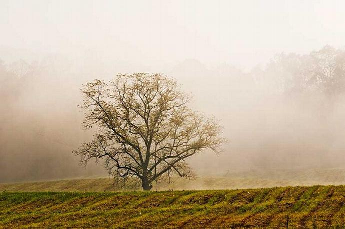 A Lone Tree In the Fog at Cades Cove