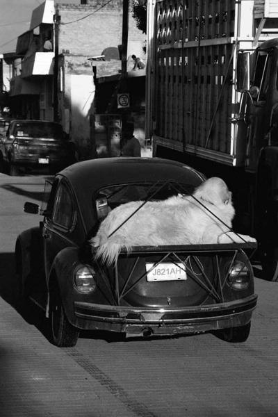A VW Beetle Used as a Dog Carrier Fine Art Photo Dog Humor Wall Decor