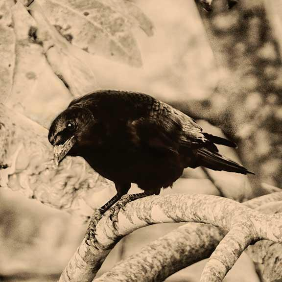 The Sentry Crow is Looking at You Sepia Fine Art Print Bird Photography