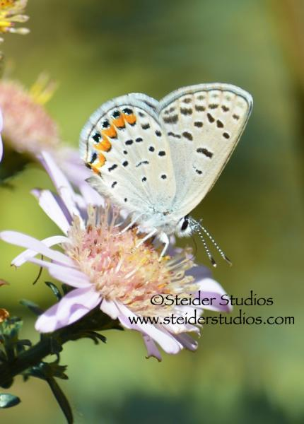 Nature Art Photo Blank Note Card, Eastern Tailed Blue Butterfly