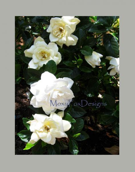 Photo -- MORNING GARDENIAS Fine Art Photograph Tropical Flowers 8 x 10 Print